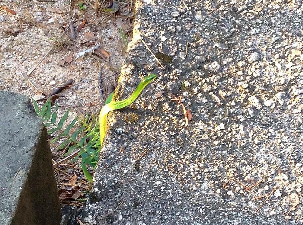 bamboo pit viper hong kong snake hk